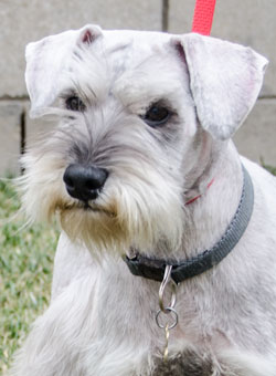Photo of Rescue Schnauzer Paris