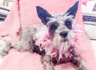 Photo of Rescue Schnauzer Pearl