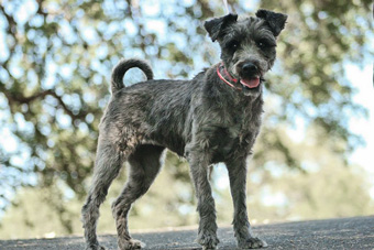 Photo of Rescue Schnauzer Penelope