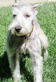 Photo of Rescue SchnauzerJuanito