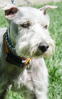Photo of Rescue Schnauzer Juanito