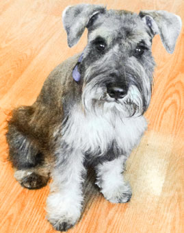Photo of Rescue Schnauzer Puppy Raylan