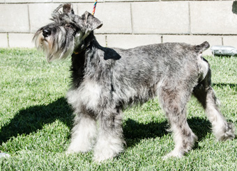 Photo of Rescue Schnauzer Ricardo