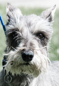 Photo of Rescue Schnauze Sally