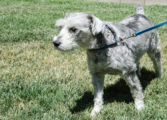 Photo of Rescue Schnauzer Sammy