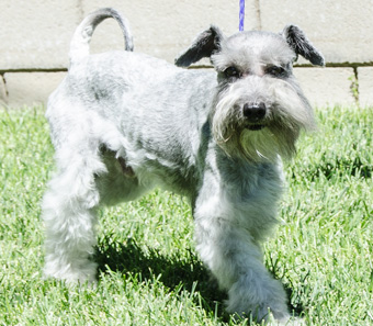 Photo of Rescue Schnoodle Sanford