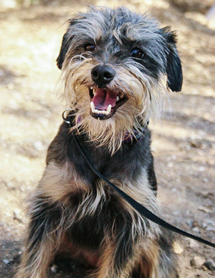 Photo of Rescue Schnauzer Mix Stacey