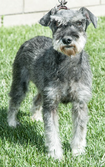 Photo of Rescue SchnauzerTimmy