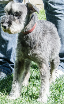 Photo of Rescue Schnauzer Timmy