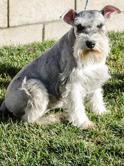 Photo of Rescue Schnauzer Willi