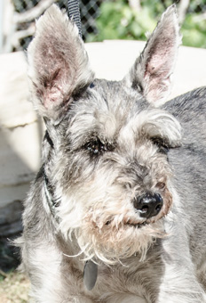 Photo of Rescue Schnauzer Bethany