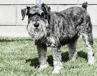 Photo of Rescue Schnauzer Duke