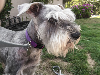 Photo of Rescue Schnauzer Gabriella