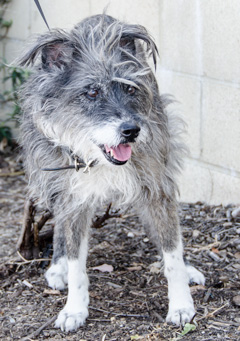 Photo of Rescue Schnauzer mix JoJo