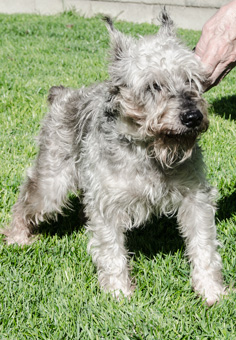 Photo of Rescue Schnauzer Otto