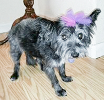 Photo of Rescue Cairn Terrier Mix Tori