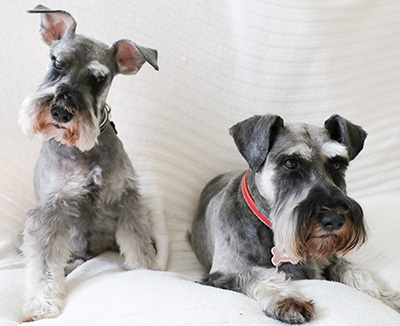 Photo of Rescue Schnauzers Brian and Flower