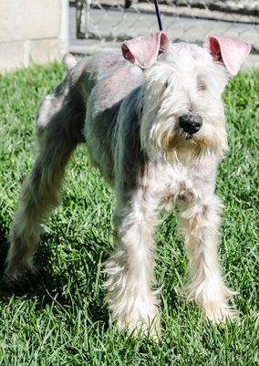 Photo of Rescue Schnauzer Denny
