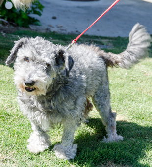 Photo of Rescue Schnoodle Nathan
