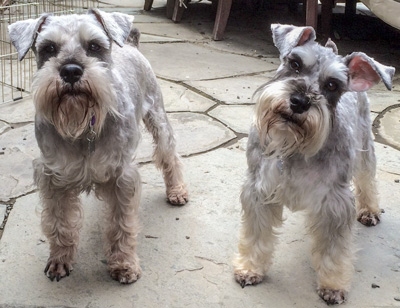 Photo of Rescue Schnauzers Nick and Nora