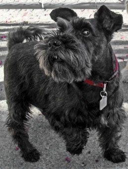 Photo of Rescue Miniature Schnauzer Timmy