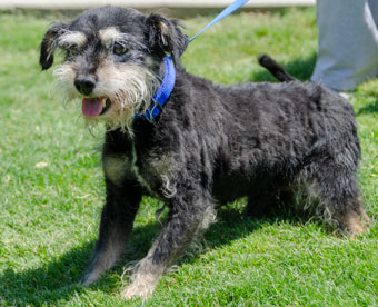 Photo of Rescue Schnauzer mix Howard