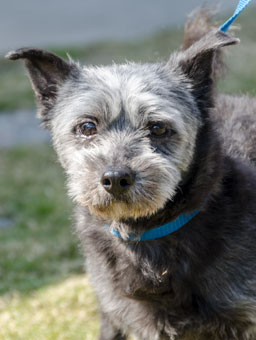 Photo of Rescue Schnauzer Mix Kenneth