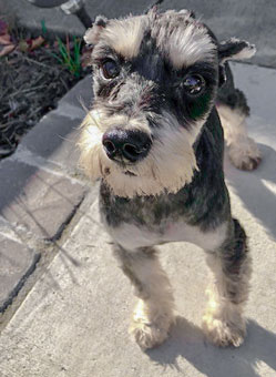 Photo of Rescue Schnauzer Mitzi