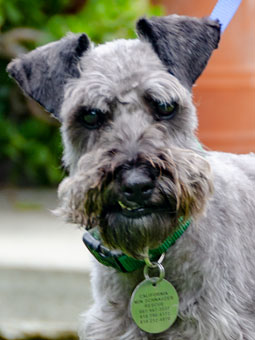 Photo of Rescue Schnauzer mix Robin