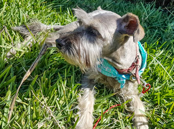 Photo of Rescue Schnauzer Tommy