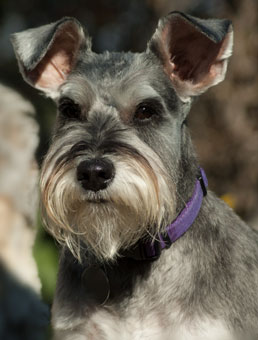 Photo of Rescue Schnauzer Candy