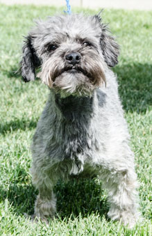 Photo of Rescue Schnauzer Mix Shane