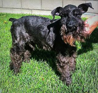 Photo of Rescue Schnauzer Stuart
