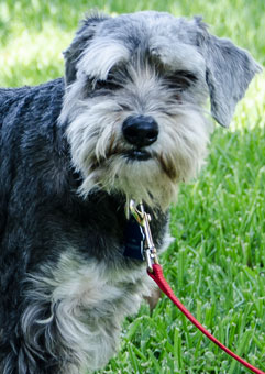 Photo of Rescue Schnauzer Toby