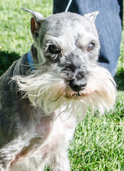 Photo of Rescue Schnauzer Vince